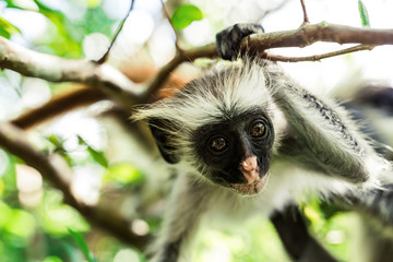 curious colobus monkey hanging on a tree in monkey forest, Zanzibar