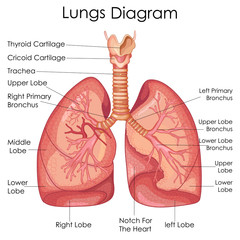 Medical Education Chart of Biology for Lungs Diagram