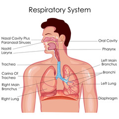Medical Education Chart of Biology for Respiratory System Diagram