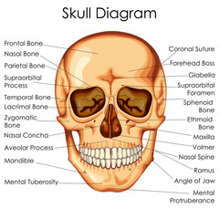 Medical Education Chart of Biology for Human Skull Diagram