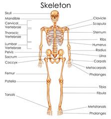 Medical Education Chart of Biology for Human Skeleton Diagram