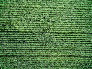 green country field with row lines, top view, aerial photo