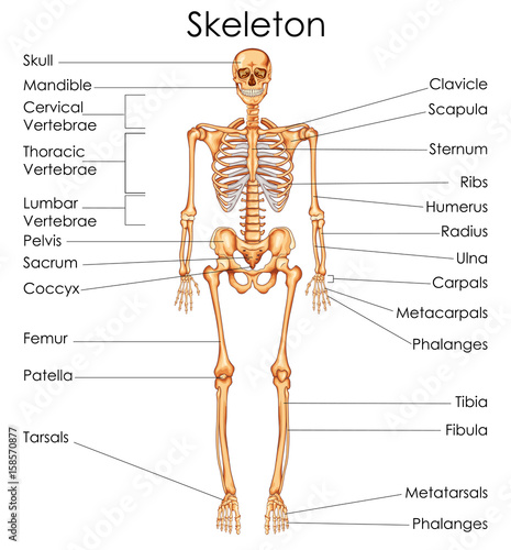 Medical education chart of biology for human skeleton diagram stock medical education chart of biology for human skeleton diagram ccuart Choice Image