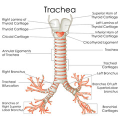 Medical Education Chart of Biology for Trachea Diagram