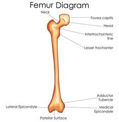 Medical Education Chart of Biology for Femur Bone Diagram