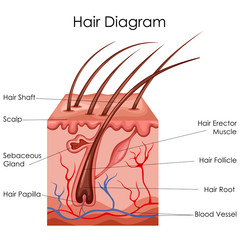 Medical Education Chart of Biology for Hair Diagram