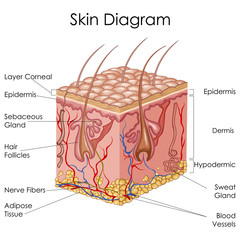 Medical Education Chart of Biology for Skin Diagram
