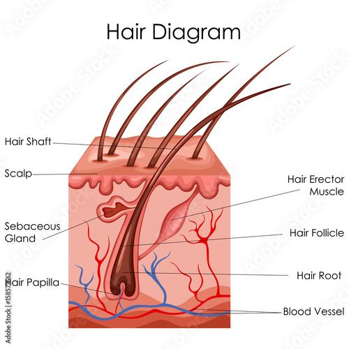 a hair diagram library wiring diagram rh 7 herbn dominik suess de  human hair growth cycle diagram
