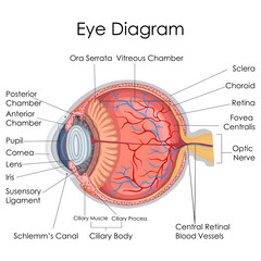 Medical Education Chart of Biology for Human Eye internal Diagram