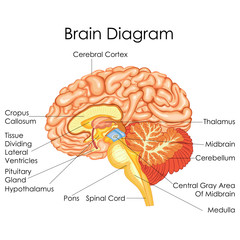 Medical Education Chart of Biology for Human Brain Diagram