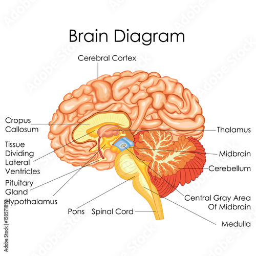 Medical education chart of biology for human brain diagram stock medical education chart of biology for human brain diagram ccuart Choice Image