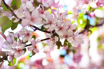 Цветущая яблоня. Весенний цвет. Цветущее дерево. Яблоневый сад.