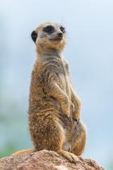 Meerkat, suricate, sentinel watching