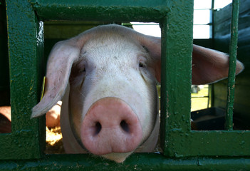 """A pig is seen at the International agriculture exhibition """"BELAGRO-2017"""", on the outskirts of Minsk"""