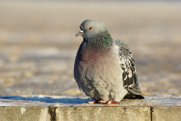 Urban pigeon. Dove sits on the sidewalk. Selective focus.