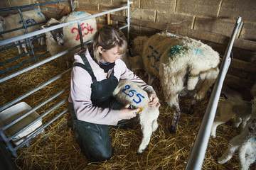 Woman kneeling in a stable, painting a blue number on a new-born lamb.