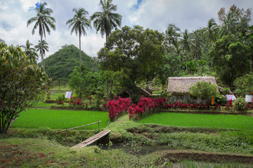 Rural scene at Philippines rice fields,Luzon island,Mayon volcano area