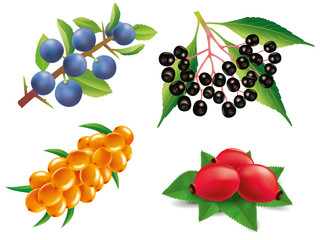 Group of sea buckthorn, rose hip, black elderberry, blackthorn
