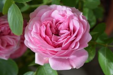 Wunderschöne Blüte einer pinkfarbenen Rose in Großaufnahme