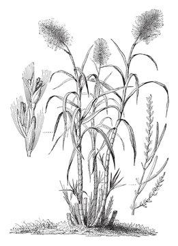 Sugarcane (Saccharum officinarum) / vintage illustration