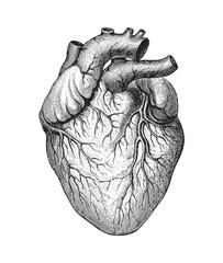 Human heart / vintage illustration
