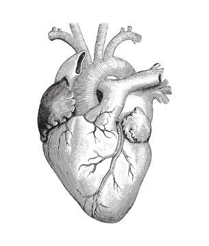 Human heart / vintage illustration