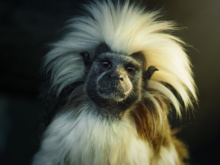 Oedipus Tamarin. Portrait of an unusual monkey