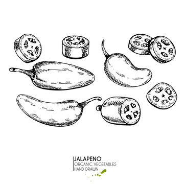Vector hand drawn set of farm vegetables. Isolated hot chilli jalapeno pepper. Engraved art. Organic sketched vegetarian objects.