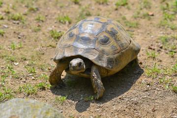 Tartaruga gigante che passeggia nel prato