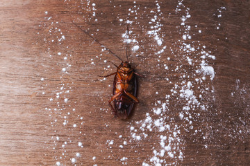 Dead cockroaches are killed using insecticide.