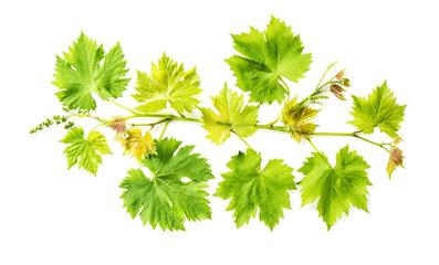 Grape vine leaf isolated white background Fresh green leaves