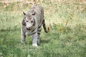 white tiger skin background - photo #41