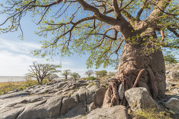 Foto op Plexiglas Baobab baobab tree in summer