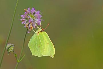 Papillon jaune citron