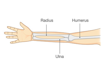 Anatomy of normal arm bone. Illustration about human body part in vector style.