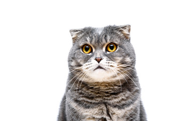 Gray lop-eared cat on white background isolated