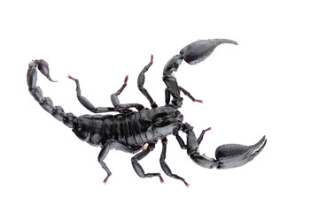Black scorpions isolated on a white background
