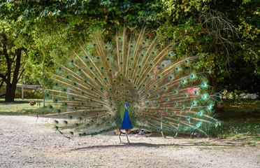 Blauer Pfau im Park - Pavo Cristatus
