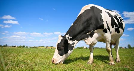 Vache primholstein laitière en campagne