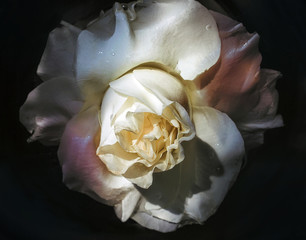 Wet flower of white rose