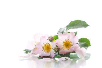 Bouquet of wild rose