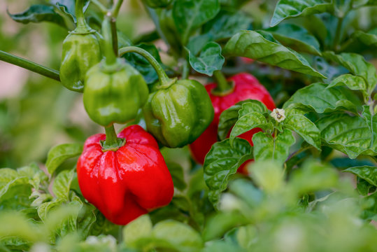 Red ripe scotch bonnet hot spicy pepper plant gardening raw food spice
