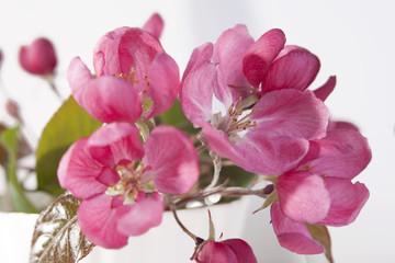 the Flowers of an apple-tree of Nedzvetsky (Malus niedzwetzkyana Dieck) in the cap