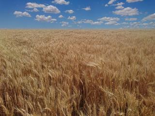 buğday tarlası bulutlu gökyüzü manzarası
