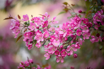Purple blossom Hall crabapple (Malus halliana) background