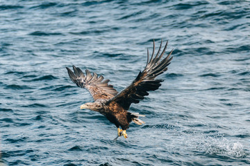 Golden Eagle catching a fish out of the ocean