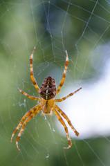Beautiful big diadem spider on web. Araneus diadematus, Araneidae. Transparent colored predator on its cobweb with a blurred green background.