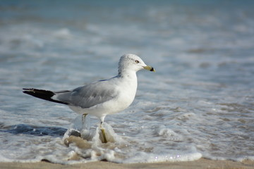 Point Pleasant NJ Seagul