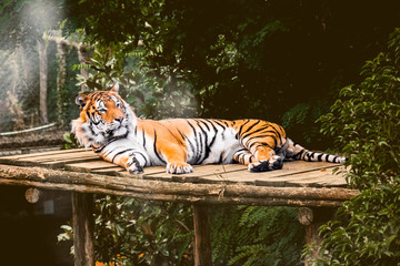 Tigre attentif sur les environs