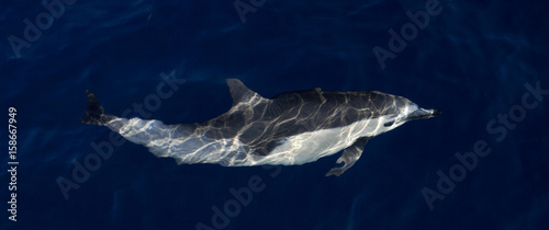 Common Dolphin viewed from above water